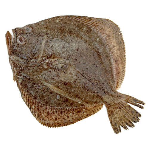 Turbot paddys for Turbot fish price