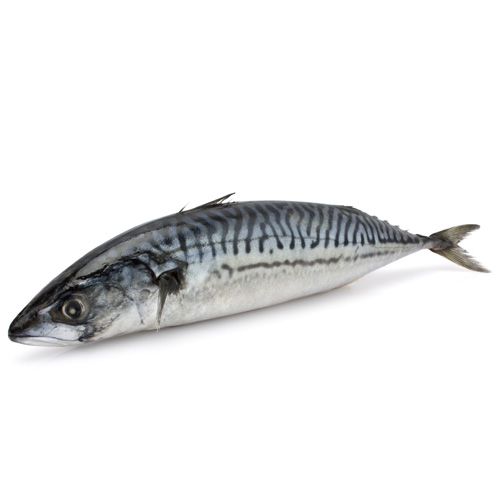Mackerel paddys for Is a fish wet